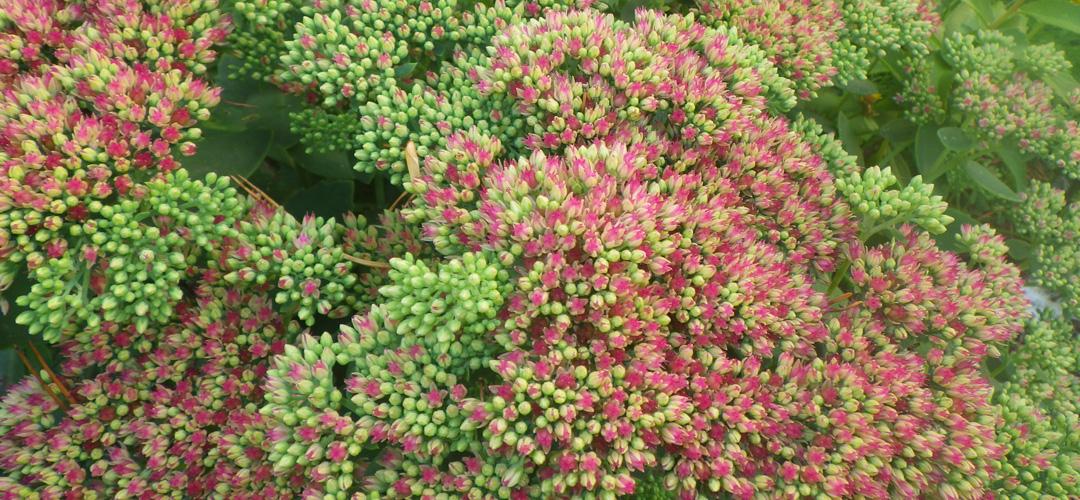 Kukkaan puhkeavassa komeamaksaruohossa vaaleanpunaiset kukat