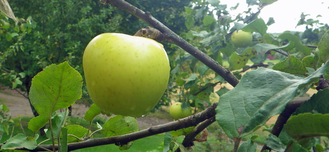 Kuuomena Oy - Vihreä omena puussa syksyisenä päivänä